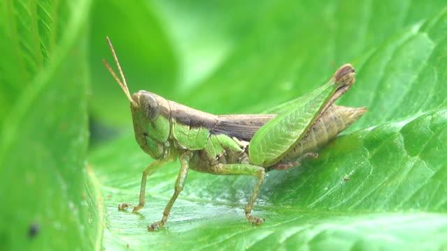grasshopper on a leaf - grillo insetto video stock e b–roll