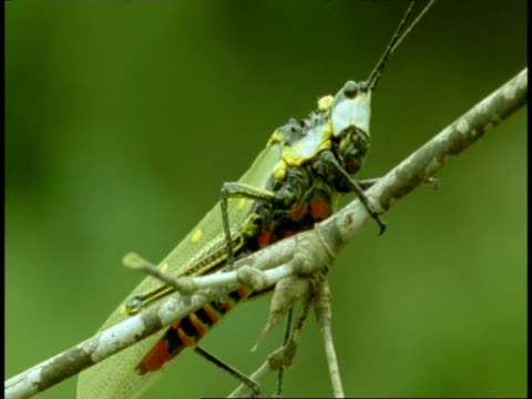 cu grasshopper, on branch, western ghats, india - animal markings stock videos & royalty-free footage