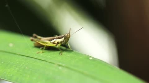 cavalletta su foglia verde di albero. - grillo insetto video stock e b–roll