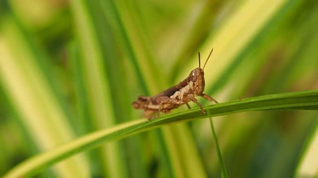 vidéos et rushes de sauterelle sur la lame verte - insecte