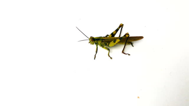 grasshopper on isolated, 4k - cricket insect stock videos and b-roll footage