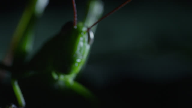 """stockvideo's en b-roll-footage met """"grasshopper (acrididae) on leaf in forest at night, philippines"""" - voelspriet"""