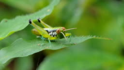 Grasshopper on leaves in tropical rain forest.
