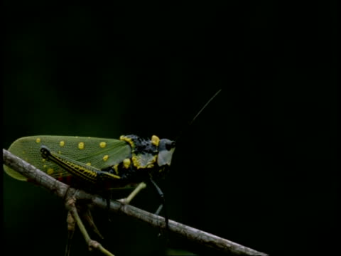 ms grasshopper resting on branch, western ghats, india - animal markings stock videos & royalty-free footage