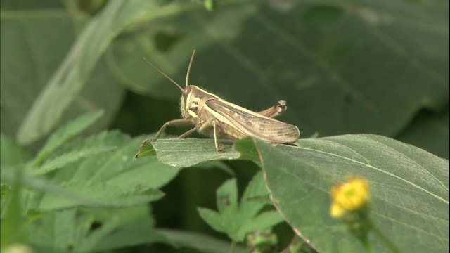 a grasshopper rests on a blade of grass in hiratsuka, japan. - blade of grass点の映像素材/bロール