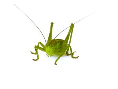 pal: cavalletta - grillo insetto video stock e b–roll