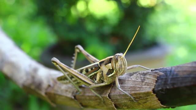 stockvideo's en b-roll-footage met grasshopper - voelspriet
