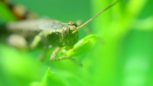 vídeos de stock, filmes e b-roll de grasshopper - alto contraste