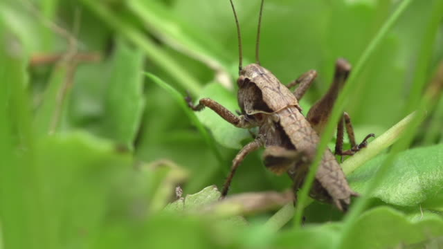 grasshopper - cricket insect stock videos and b-roll footage