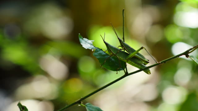 Grasshoppers matching on branches.