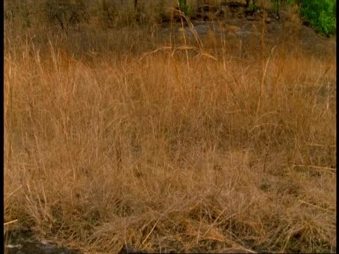 wa grassland, bandhavgarh national park, india - national icon stock videos & royalty-free footage