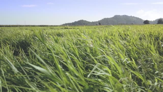 vidéos et rushes de herbe pour l'élevage - pelouse