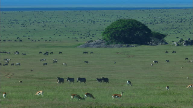 WS grassland with antelope zebra and wildebeest with rocks in foreground
