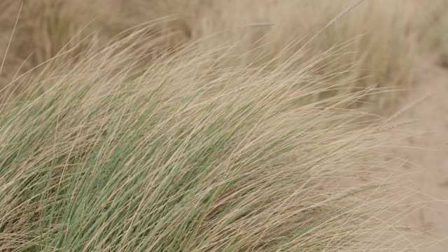 grasslands blowing in wind - grass family stock videos & royalty-free footage