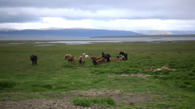 vídeos de stock, filmes e b-roll de grassy field with a hear of icelandic horses and mountain landscape in the background, iceland - animal de trabalho