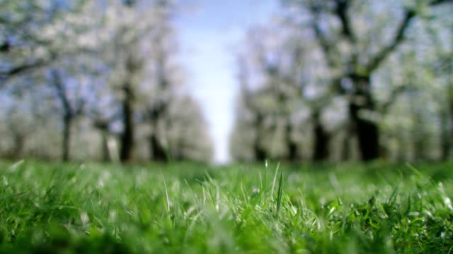 grassy path in orchard. blooming cherry trees. springtime - zona erbosa video stock e b–roll