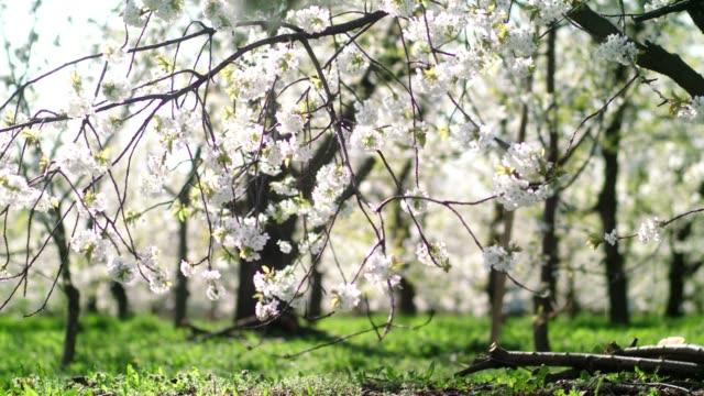 vidéos et rushes de sentier herbeux dans le verger. des cerisiers en fleurs. printemps - verger