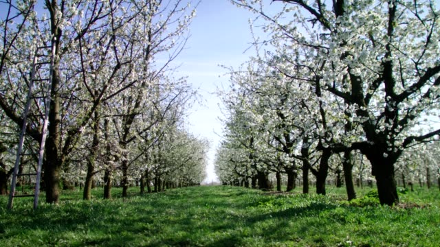 grassy path in orchard. blooming cherry trees. springtime - blossom stock videos & royalty-free footage