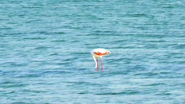 grater flamingo in water - foraging stock videos & royalty-free footage
