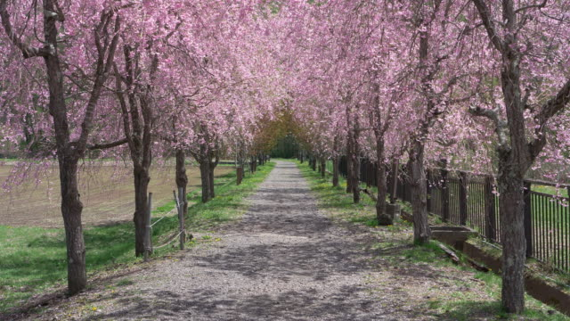 gravel road treelined with sakura - cherry blossom stock videos & royalty-free footage