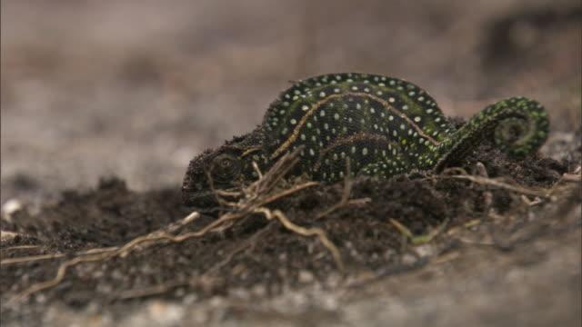 gravid jewelled chameleon (furcifer campani) lays eggs into nest burrow, madagascar - animal nest stock videos & royalty-free footage