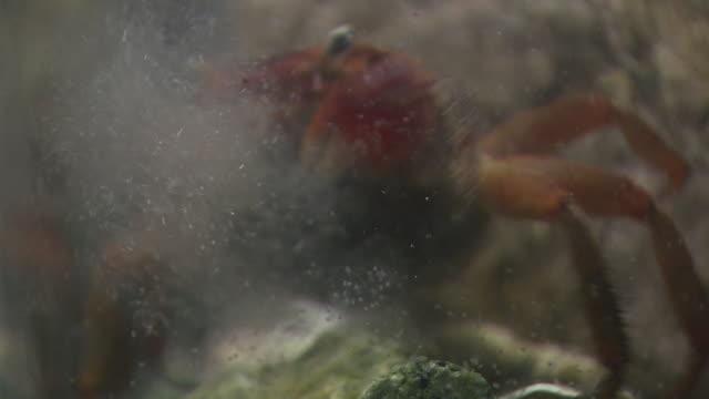 vidéos et rushes de gravid red hand crab spawns larvae - crabe