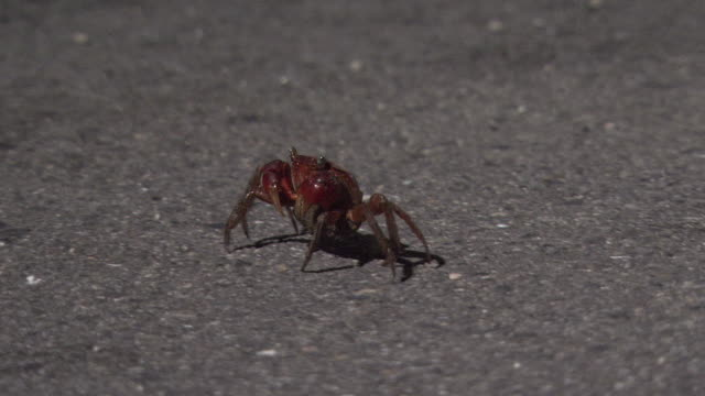 gravid red hand crab travels to the sea for spawning - crab stock videos and b-roll footage