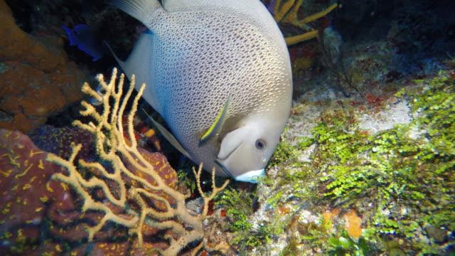 gray angelfish - エンゼルフィッシュ点の映像素材/bロール