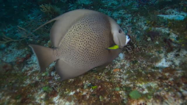gray angelfish - yucatan peninsula stock videos and b-roll footage