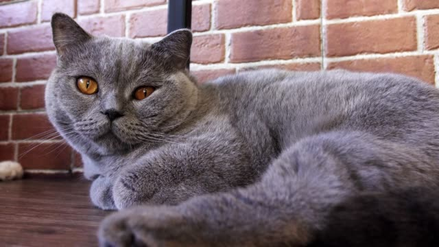 gray cat close up with big eyes looks at the camera - cat blinking stock videos & royalty-free footage