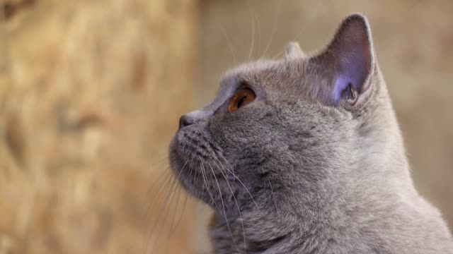 gray cat close up with big eyes looks at the camera - grey colour stock videos & royalty-free footage