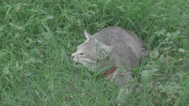 gray cat eat grass.(4k) - mixed breed cat stock videos & royalty-free footage