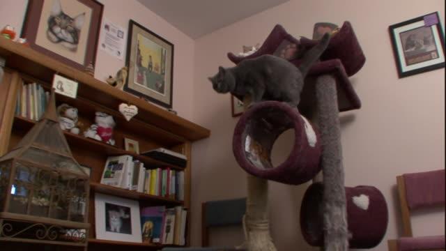 vídeos y material grabado en eventos de stock de a gray cat stands on a cat tower next to a bookshelf. - estante muebles
