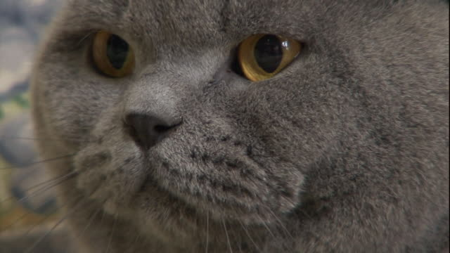 a gray cat stares with golden eyes. - grey colour stock videos & royalty-free footage