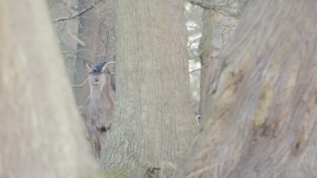 a gray deer standing between the tree trunks in the forest with bird playing on its head in england, london.- closeup shot - wildlife stock videos & royalty-free footage