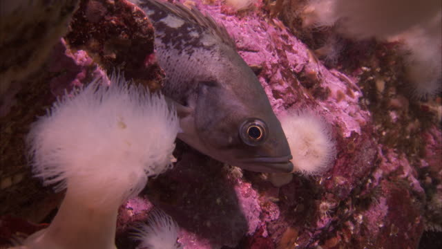 a gray fish rests on pink corals and white anemones on the pacific reef. - ranunculus stock videos & royalty-free footage