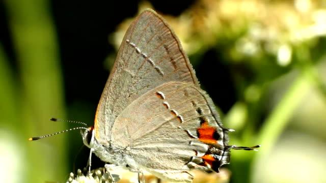 vidéos et rushes de porte-queue gris - des papillons dans le ventre