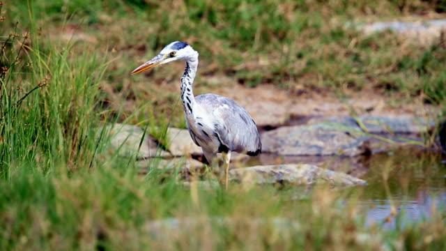 gray heron hunting