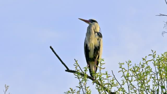 vídeos de stock, filmes e b-roll de gray heron sitting on tree in spring - boca animal