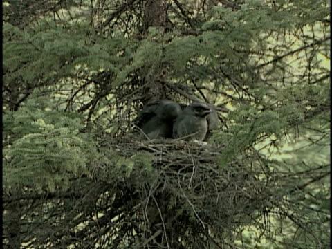 zi, cu, gray jay (perisoreus canadensis) feeding chicks in nest, alberta, canada - nido di animale video stock e b–roll