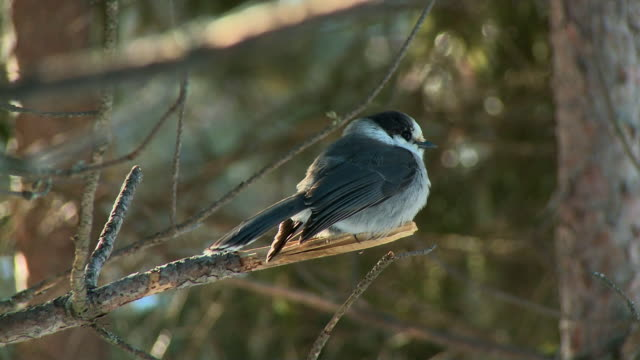 ms gray jay (perisoreus canadensis) fluffed up for insulation sitting on twig / dwight, ontario, canada - twig stock videos & royalty-free footage