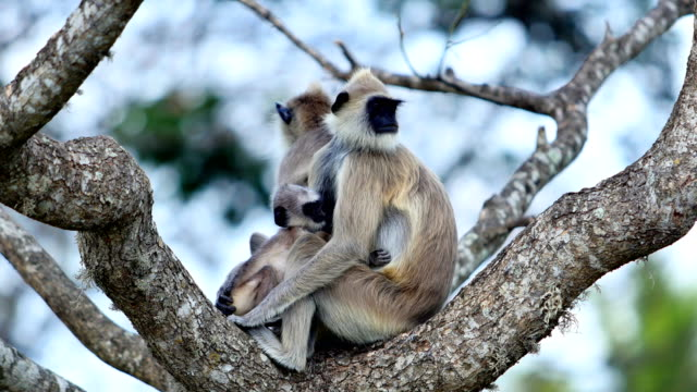 gray langur: 4k - sri lanka stock videos and b-roll footage