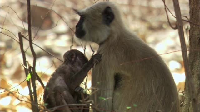 vidéos et rushes de gray langur monkey sitting under the tree and feeding to baby-medium shot - medium group of animals