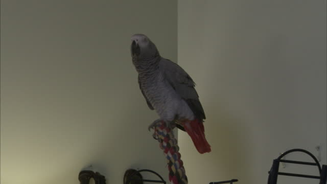 a gray parrot perches on a post and flaps its wings. - gliedmaßen körperteile stock-videos und b-roll-filmmaterial