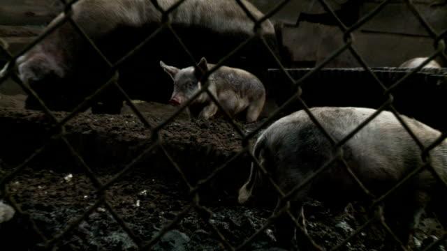 gray schweine in ein schwein pen - pferch stock-videos und b-roll-filmmaterial