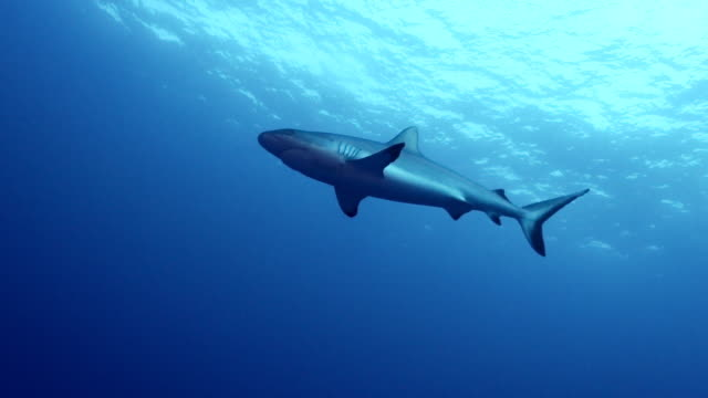 gray reef shark at vertigo, yap, micronesia - grey reef shark stock videos & royalty-free footage
