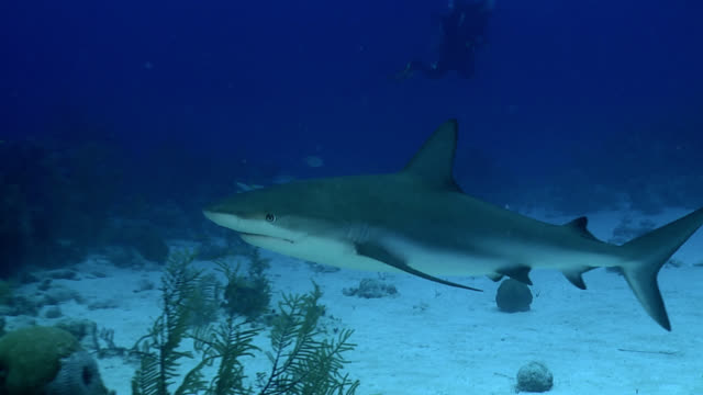gray reef shark carcharhinus amblyrhynchos - caribbean reef shark stock videos and b-roll footage