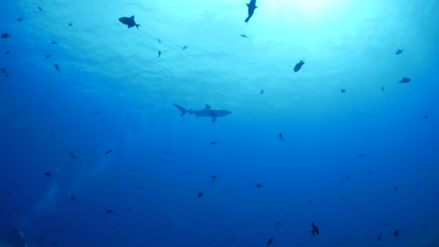 gray reef shark swimming at sea - reef shark stock videos and b-roll footage