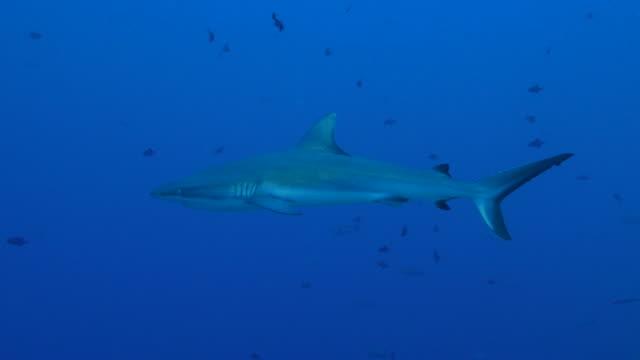 gray reef shark swimming close to camera - grey reef shark stock videos & royalty-free footage