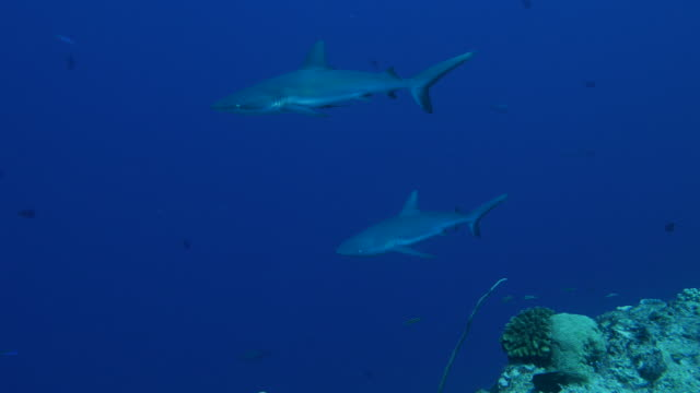 gray reef shark swimming in coral reef - reef shark stock videos and b-roll footage